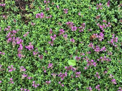 thyme central Ohio herb garden HSA
